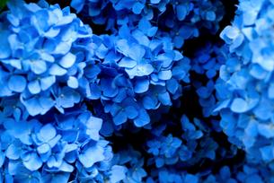 青いあじさいの写真素材 [FYI04524319]