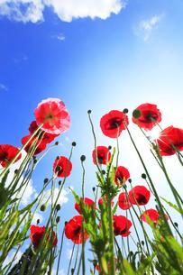 ポピーの花と空に太陽の写真素材 [FYI04524384]