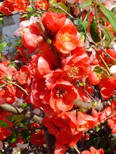 赤く咲くの写真素材 [FYI04524417]