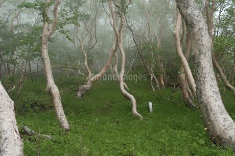夏の森の霧景色の写真素材 [FYI04524438]