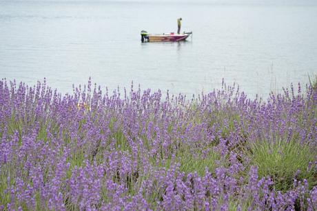 ラベンダーがある湖の上でボートで釣りをする人の写真素材 [FYI04524442]