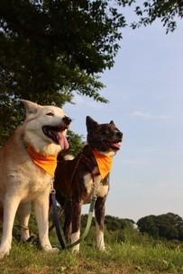 笑顔で並ぶ2匹の犬と新緑の写真素材 [FYI04524508]