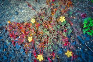 アカカタバミの黄色い花の写真素材 [FYI04524839]