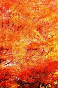赤く色づくモミジの紅葉の写真素材 [FYI04524844]