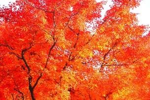 赤く色づくモミジの紅葉の写真素材 [FYI04524848]