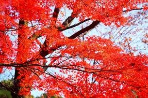 真っ赤に染まったモミジの紅葉の写真素材 [FYI04524851]