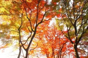 色づき始めたモミジの木々の写真素材 [FYI04524855]