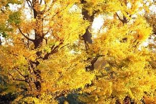 イチョウの黄葉の写真素材 [FYI04524860]