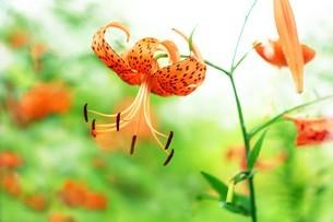 オニユリの花の写真素材 [FYI04524875]