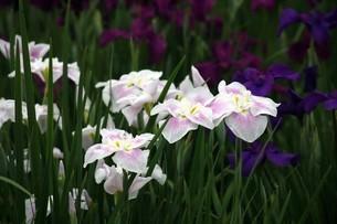 ハナショウブの花の写真素材 [FYI04524876]