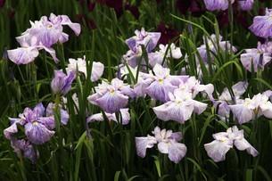 ハナショウブの花の写真素材 [FYI04524878]