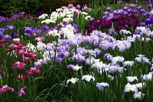 咲き競うハナショウブの花々の写真素材 [FYI04524880]