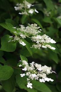 ノリウツギの開花の写真素材 [FYI04524881]