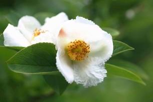 シャラノキの花の写真素材 [FYI04524883]