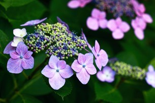 ガクアジサイの花の写真素材 [FYI04524889]