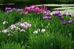 ハナショウブの花の写真素材 [FYI04524891]