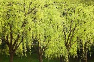 しだれ柳の新緑の写真素材 [FYI04525186]