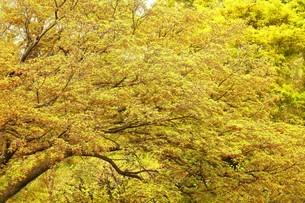 色鮮やかなモミジの芽吹きの写真素材 [FYI04525187]