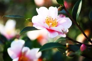 サザンカ・白に紅色の花の写真素材 [FYI04525199]