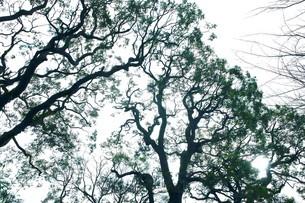 冬のクスノキの写真素材 [FYI04525200]