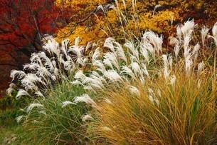 初冬のススキの花の写真素材 [FYI04525204]