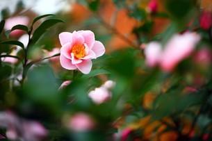 色鮮やかなサザンカの花の写真素材 [FYI04525205]