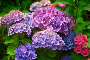 赤紫色のアジサイの写真素材 [FYI04525249]