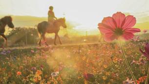 秋桜の写真素材 [FYI04525272]