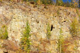 アラスカの崖を舞う鷹の写真素材 [FYI04525282]