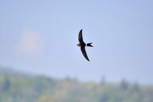アマツバメの飛翔(北海道・知床)の写真素材 [FYI04525287]