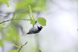 虫を捕らえたヒガラ(北海道・知床)の写真素材 [FYI04525316]