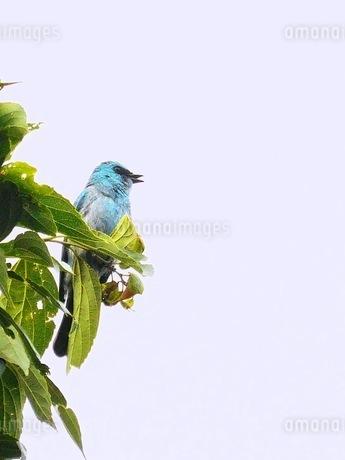 青い鳥1の写真素材 [FYI04525333]