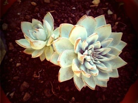 多肉植物1の写真素材 [FYI04525335]