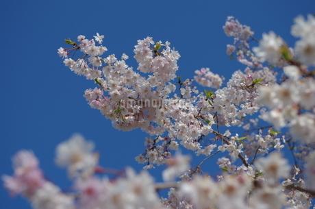 桜の写真素材 [FYI04525340]