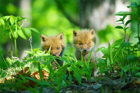 小狐の兄弟の写真素材 [FYI04525406]