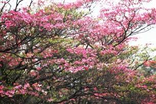 ベニバナハナミズキの花々の写真素材 [FYI04525553]