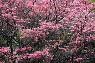 ベニバナハナミズキの花々の写真素材 [FYI04525554]
