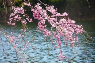 水辺に咲くしだれ桜の花の写真素材 [FYI04525559]