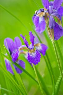 紫色のアヤメの写真素材 [FYI04525594]
