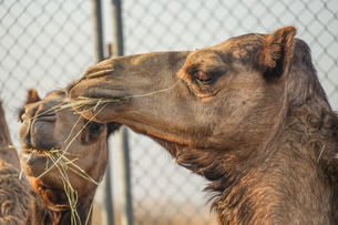 アラビア砂漠のラクダ(アラブ首長国連邦)の写真素材 [FYI04526311]