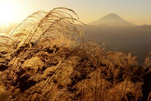 山梨県 朝陽に照るススキと富士山の写真素材 [FYI04526660]