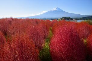 山梨県 大石公園のコキアと富士山 の写真素材 [FYI04526678]