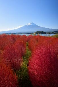 山梨県 大石公園のコキアと富士山 の写真素材 [FYI04526679]