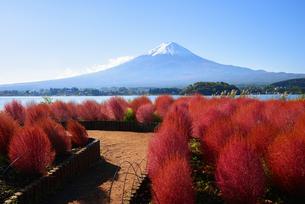 山梨県 大石公園のコキアと富士山 の写真素材 [FYI04526680]