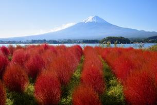 山梨県 大石公園のコキアと富士山 の写真素材 [FYI04526681]