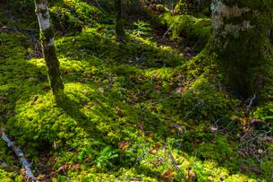 白駒の池周辺の苔の森の写真素材 [FYI04526793]