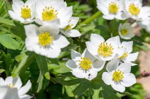晴天下のハクサンイチゲの花の写真素材 [FYI04527058]