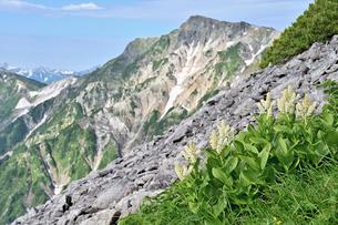 晴天の白馬岳とコバイケイソウの花の写真素材 [FYI04527059]