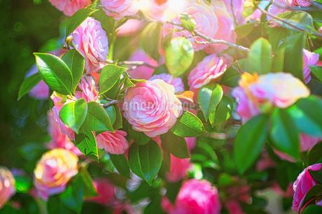 光り輝く姫椿の写真素材 [FYI04527300]