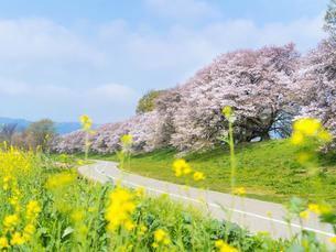 京都府 背割堤の桜の写真素材 [FYI04527459]
